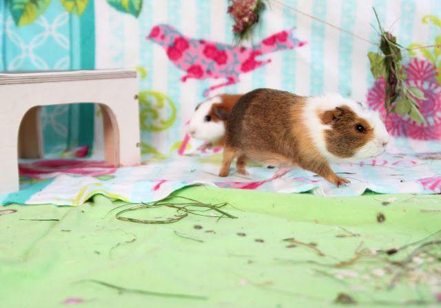 ein blog über meerschweinchen  meerschweinchen blog