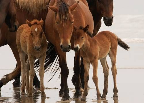 Corolla's wild horses, descendants of Colonial Spanish Horses, which are also called Spanish Mustangs