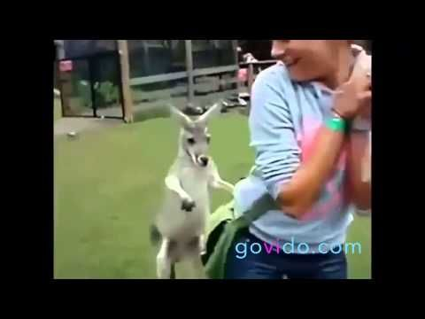 Best Funny Animal Videos ::: Kangaroo ::: How fun is this! ::: Visit us on www.govido.com to find THE FUNNIEST ANIMAL VIDEOS 2014 Funny Videos, Funny video 2014: cat, cats, dog, dogs, funny dogs, sweet dogs, animal, cute, pets, funny animals, puppies, PLUS: monkey, frog, kangaroo, buffalo, deer, bear, fish, ... and more! Hilarious short videos to make you laugh! :::