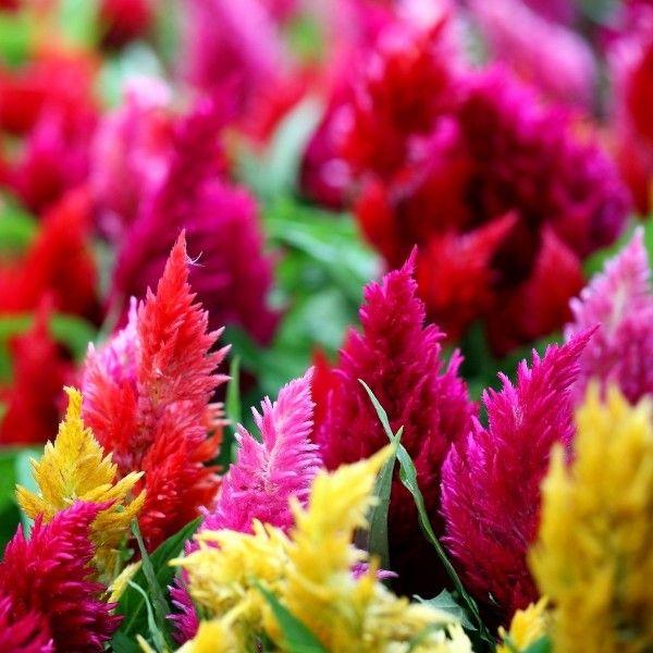 Celiozija Skiauterėtoji Celosia Argentea Plumosa Misinys Sėklos 200 Vnt 1353 Celosia Plant Plants Celosia Flower