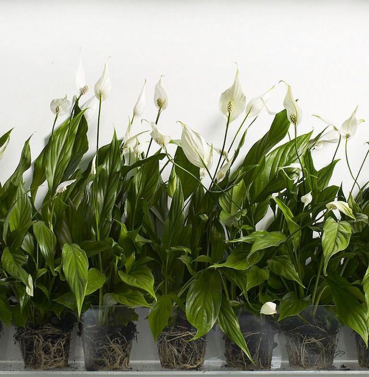 5 rastliny, ktoré bude absorbovať prebytočnú vlhkosť v dome - Cleaning-Ideas.com