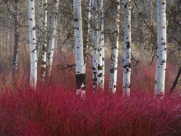 "betula utilis (birch), cornus alba ""Elegantissima"" (red twig dogwood) for winter interest"