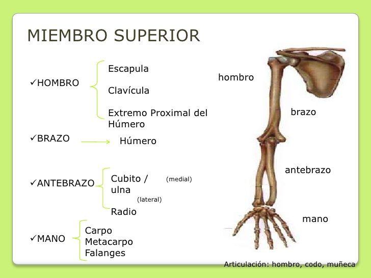 MIEMBRO SUPERIOR              Escapula                                             hombroHOMBRO              Clavícula   ...
