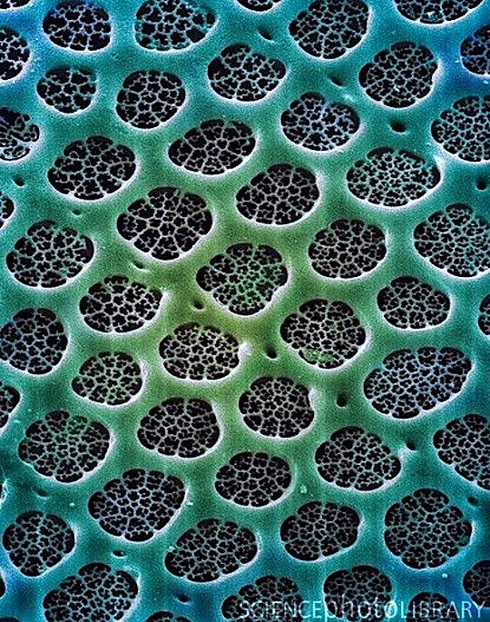 Diatom Alga, SEM
