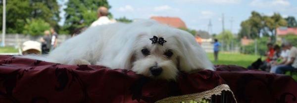 www.ocasky.cz - maltézský psík