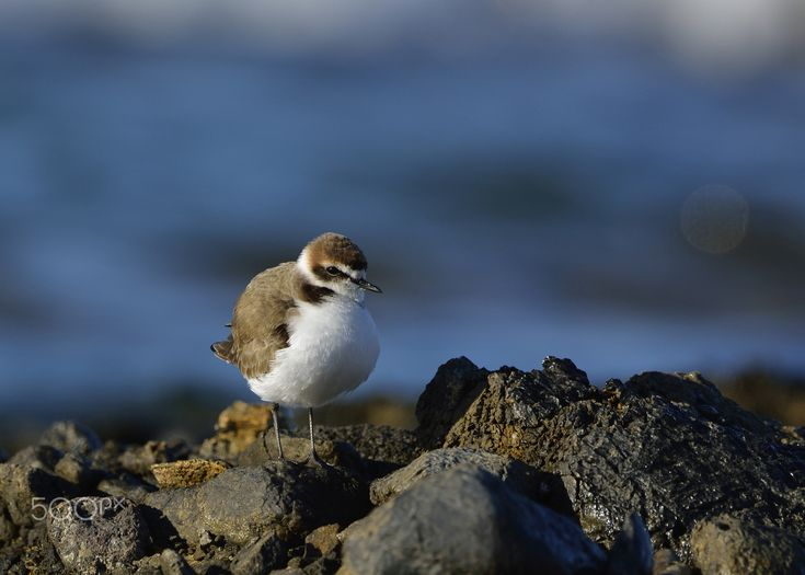 Kentish Plover - Happy New Year!!! This is one of the very photos I took in 2008