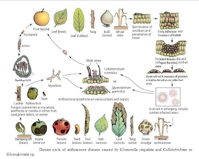 دورة حياة الفطر Glomerella cingulata (الطور اللاجنسى فطر ...