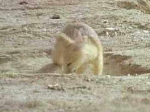 Desert survivors - Biological Sciences - Year 5 Primary Science Desert survivors - desert animal video