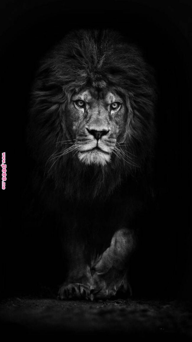 Pin By Bessie On Fun With Art Lion Wallpaper Black And White Lion Lion Photography