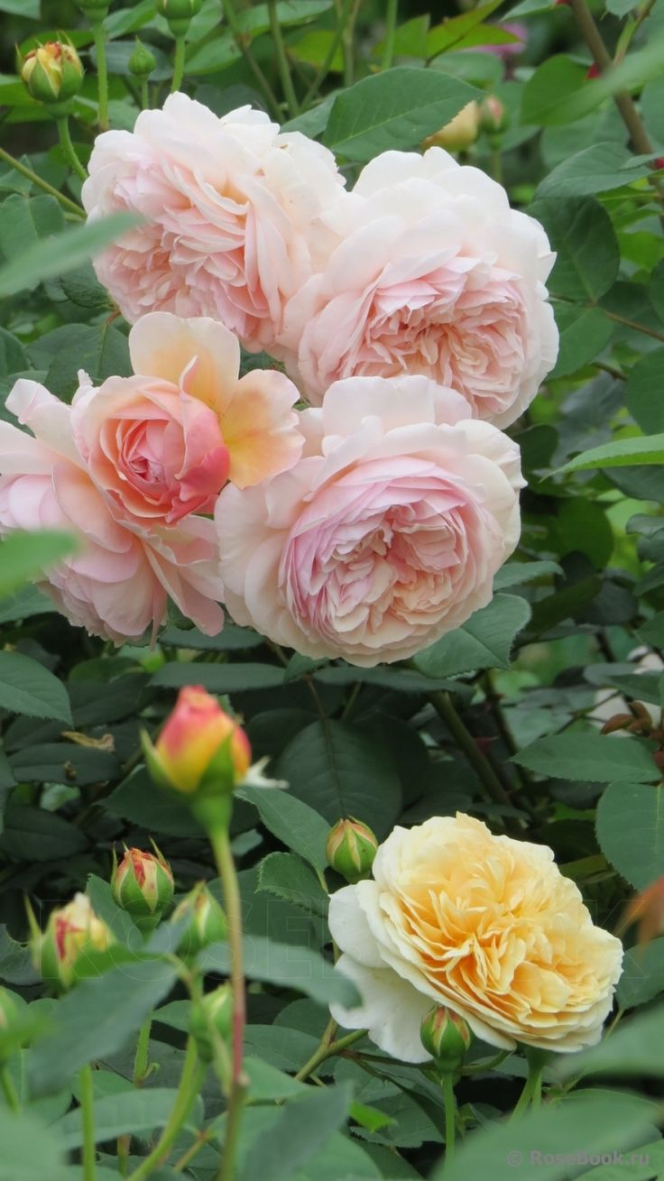 foto de 1000+ images about Roses on Pinterest Yellow roses Shrub roses and Peach rose