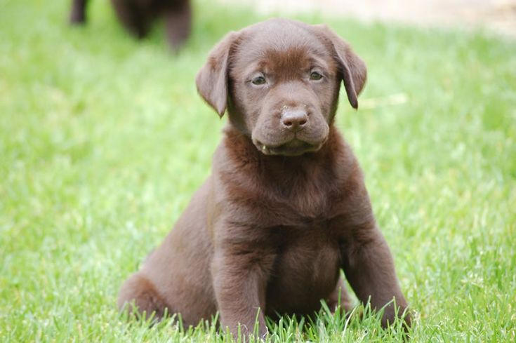 Chocolate Retriever Is he/she not cute or what???