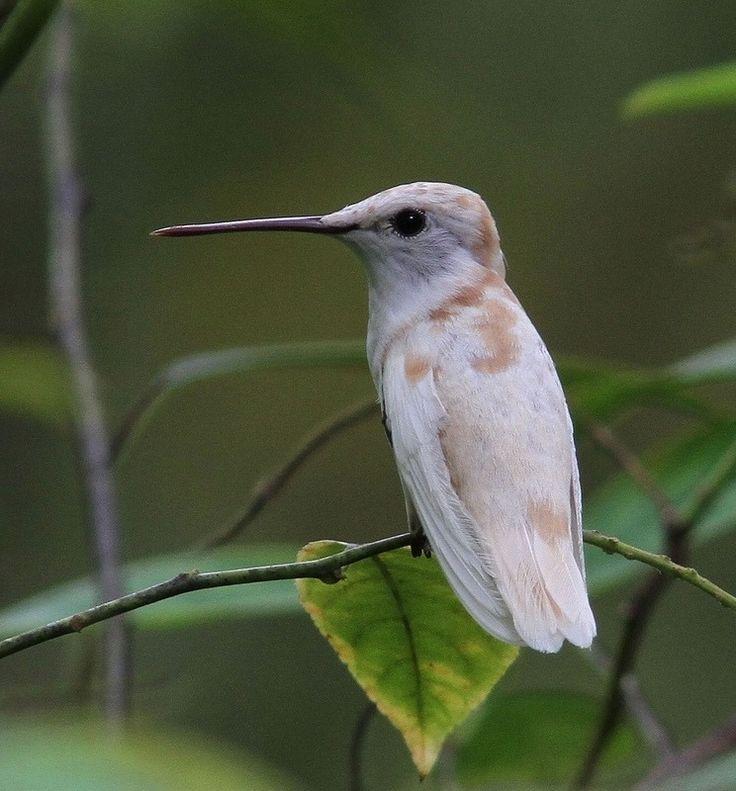 Leucistic Ruby Throated Hummingbird. Photo by allhearts