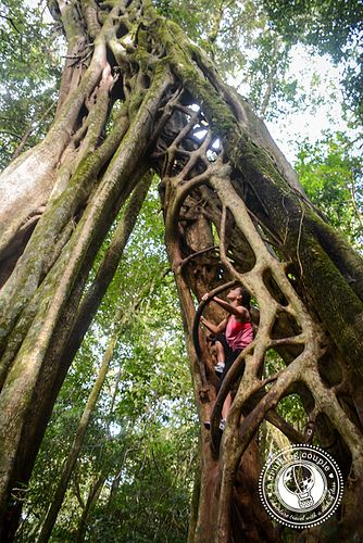Ficus tree Monteverde Costa Rica. I am so in love with Costa Rica I cannot wait until I get to go.