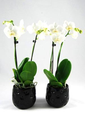 Orchidee Phalaenopsis Amabilis Wit in Chester keramiek zwart.