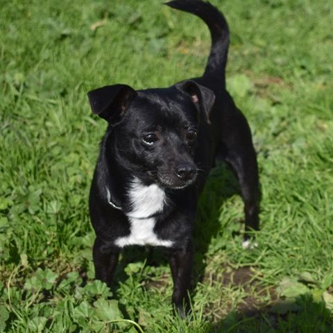 Chiweenie Dog For Adoption In Vacaville Ca Adn 783145 On