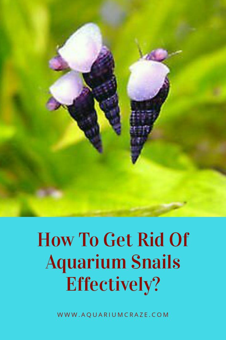 Aquarium snails are frequent in your fish tank and used