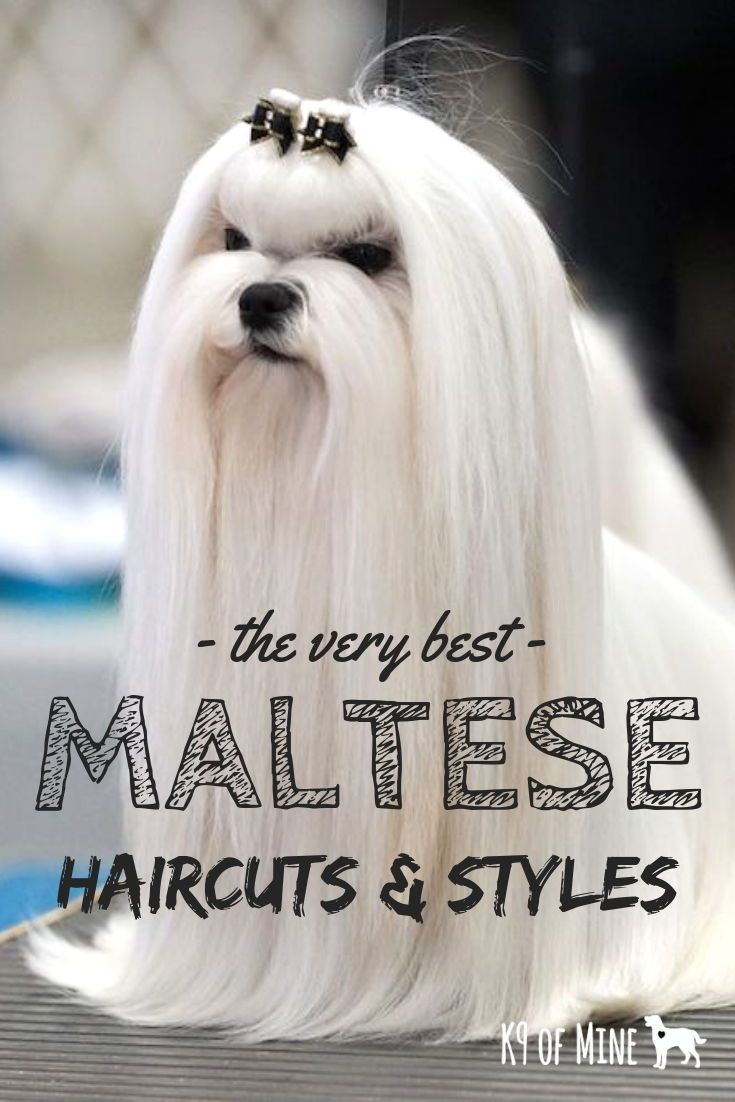 3 Maltese Haircuts & Hairstyles: White, Fluffy, and Looking