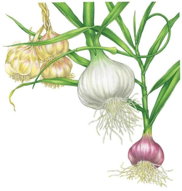 All About Growing Garlic - Organic Gardening - MOTHER EARTH NEWS - By Barbara Pleasant