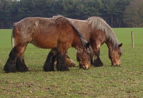 Belgische trekpaarden in de wei