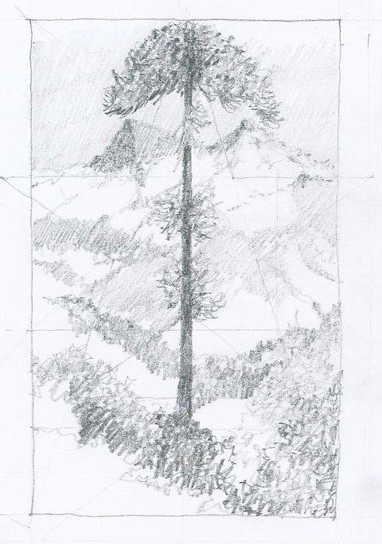 Drawings: Araucaria, Chile
