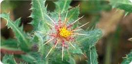"""Blessed Thistle has fuzzy leaves and stems with yellow flowers. It is a """"bitter"""" that aids digestion and works on a congested liver. It increases breast milk and is an emotional ally to uplift spirits. Not for use during pregnancy.     Motherlove Products: more milk plus, more milk plus alcohol free, more milk plus capsules, more milk special blend, more milk special blend alcohol free, more milk special blend capsules, more milk"""