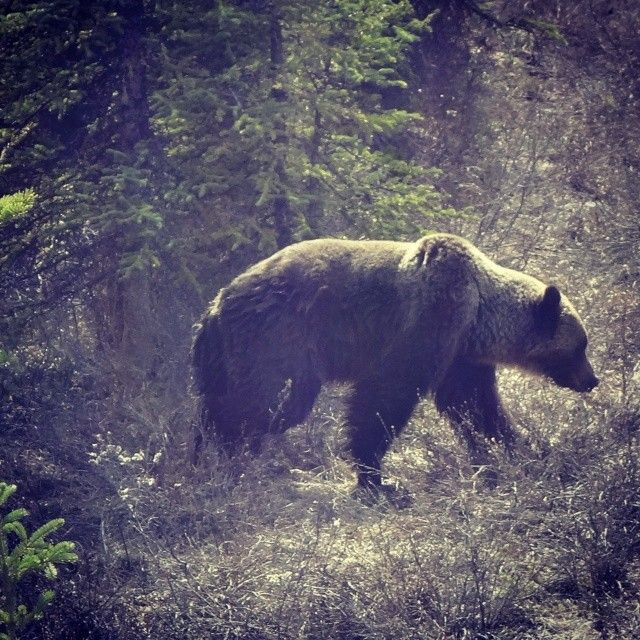 #grizzly #bear spotted on hwy 11 #alberta