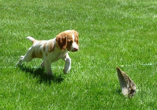 Annabella Brittany Kennels » Puppy Names - American Brittany ...