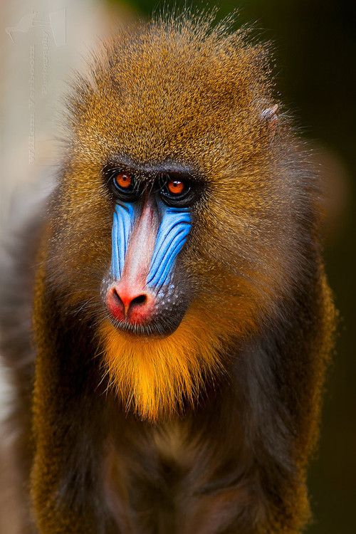 MANDRILL: the world's largest species of monkey, with males weighing as much as 110 lbs and standing up to 3 ft tall; also the most colorful monkey there is. With it's olive green or dark gray coat with yellow and black bands, a white belly, a hairless face, red nostrils and lips, a yellow beard with white tufts, an elongated muzzle with a red stripe down the middle and protruding blue ridges on the sides, the lower body can be red, pink, blue, scarlet or purple, what a sight to see!