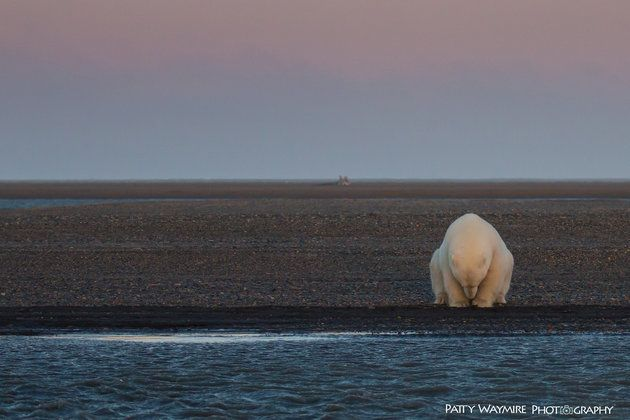 Image result for patty waymire polar bear shot