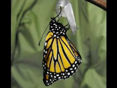 Butterfly Metamorphosis: A close look at caterpillar, chrysalis to butterfly transformations.  A more complete look can be seen in the mother site at http://lifecycle.onenessbecomesus.com