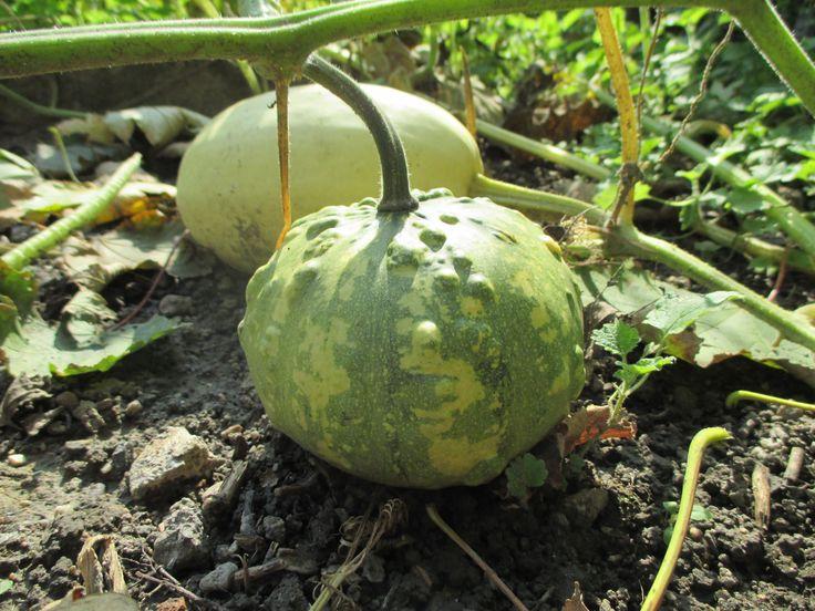 zucche ornamentali www.ecoblog.it/