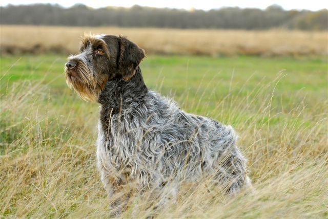 Korthals Griffon-Needs LOTS of exercise. (Dog breed that I want to remember)