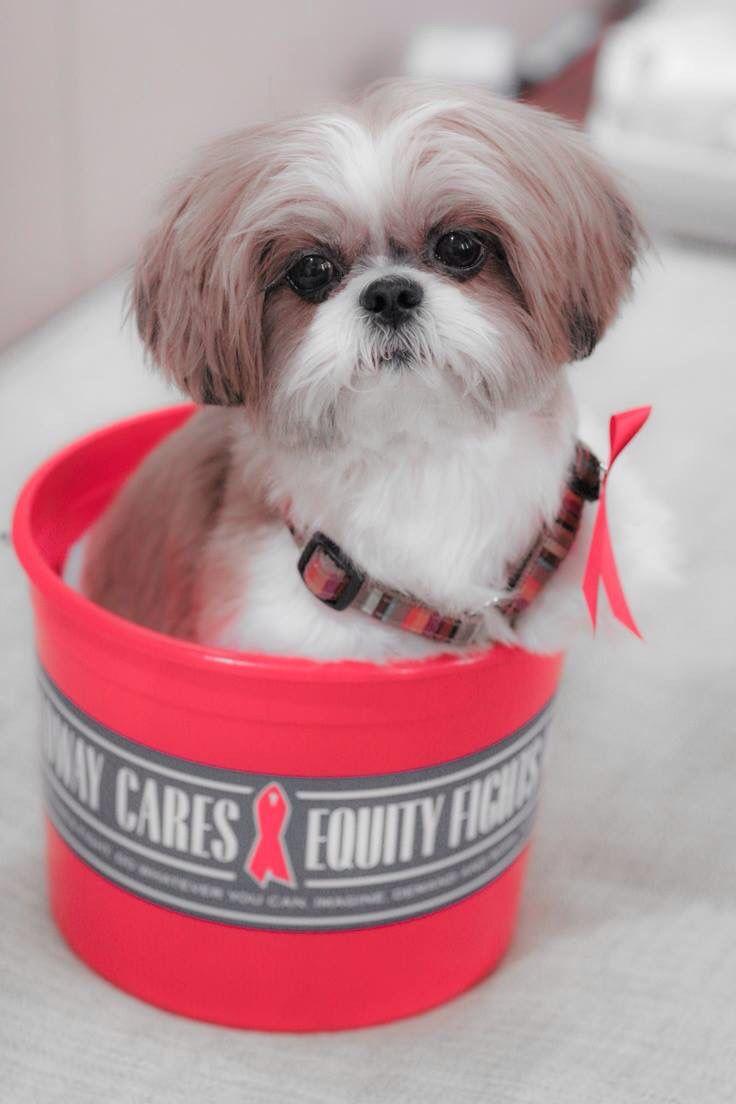 "Sweet Shih Tzu with ""Puppy Cut"""