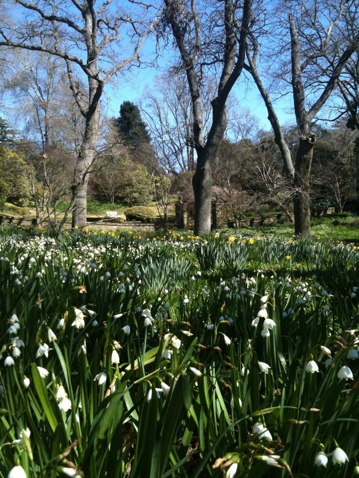 Daffodils & Jonquils , Milton Park Bowral.