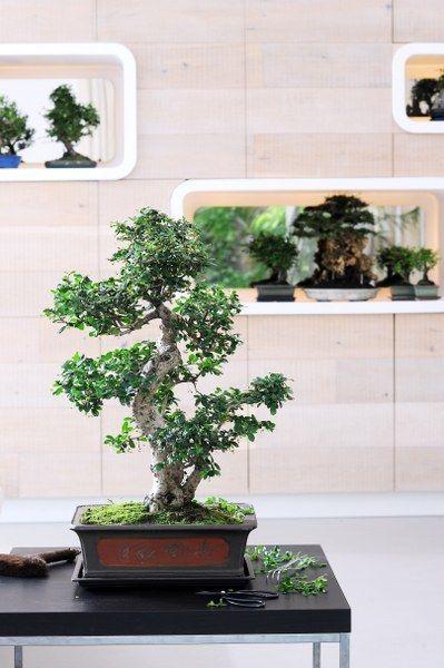 25 best ideas about ginseng bonsai on pinterest bonsai. Black Bedroom Furniture Sets. Home Design Ideas