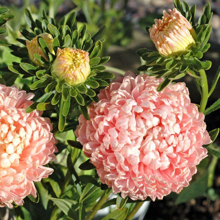 Sommaraster | Ettåriga blomsterväxter | Callistephus chinensis 'Chamois Turm' |