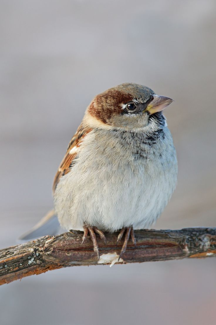 House Sparrow (by Michel Gauvin).