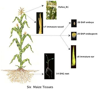 """Amazing protein diversity"" is discovered in the maize plant http://www.sciencetotal.com/news/2016-06-amazing-protein-diversity-is-discovered-in-the-maize-plant/"