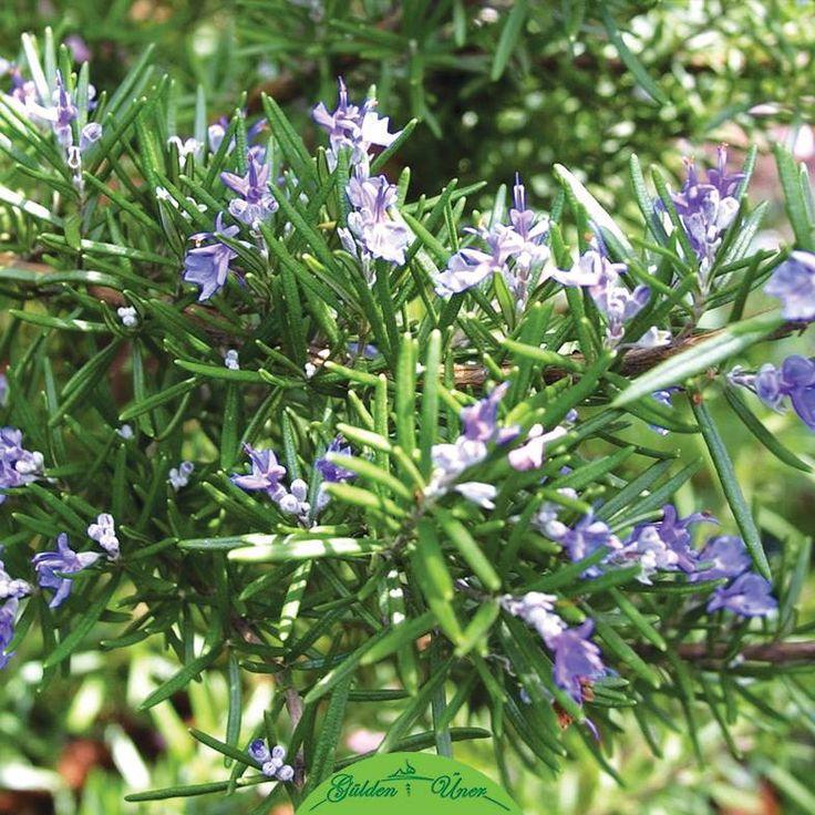Biberiye yağının mucizesi.. Baş ağrısı, stres, yorgunluk ve mutsuzluğun düşmanı olan bu güzel bitkiyi çok seveceksiniz. Biberiye yağı eski çağlardan beri psişik korunma için kullanılmaktadır. Aktardan alabileceğiniz biberiye yağını yanınızda taşıyın ve ne zaman ihtiyaç duyarsanız koklayın, şakaklarınıza ya da bileklerinize sürün.
