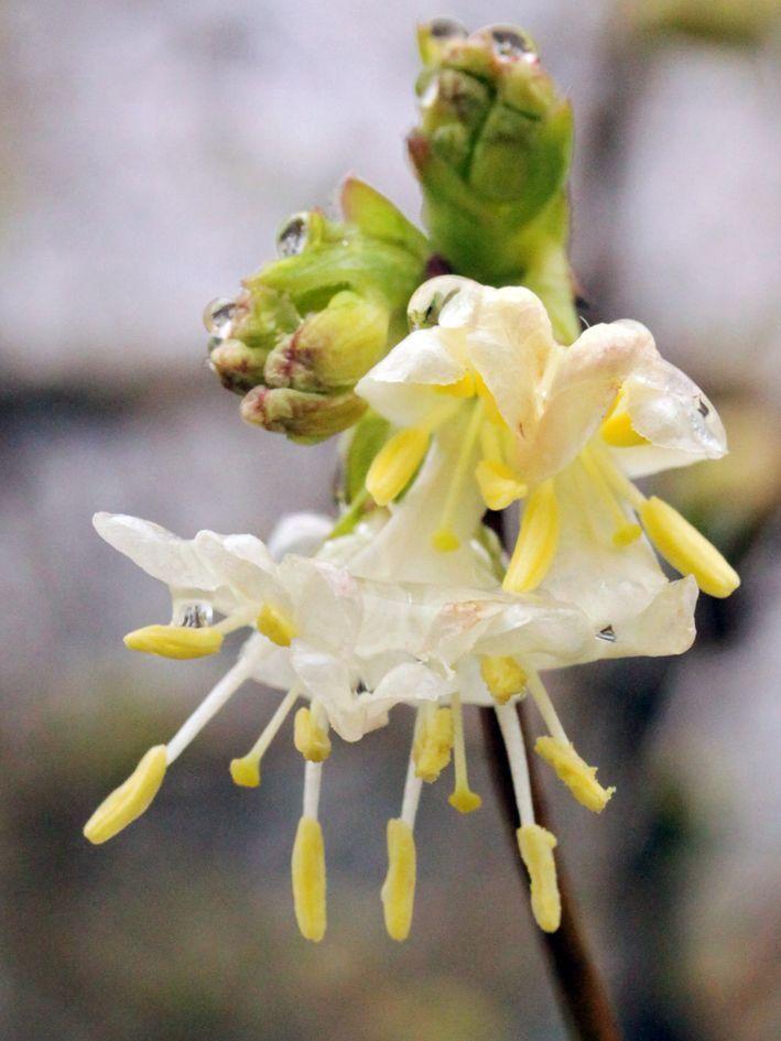 Lonicera x purpusii - Winter-Duft-Heckenkirsche Lonicera x purpusii bevorzugt einen sonnigen bis halbschattigen Standort, wobei in der Sonne mehr Blüten produziert werden. Sie verträgt Temperaturen bis -28,2º C (Winterhärtezone 5a). Die Sträucher sind recht anspruchslos und tolerieren jeden bearbeiteten Gartenboden, fühlen sich jedoch in frischen bis feuchten, nährstoffreichen und durchlässigen Substraten besonders wohl.