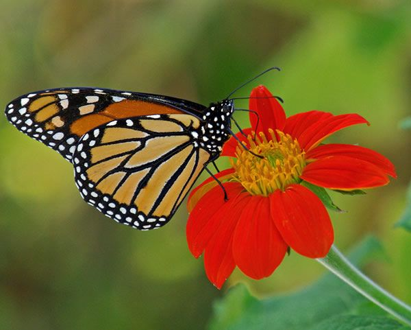 Citizen Science Slideshow : Tracking monarch butterfly migration with Journey North