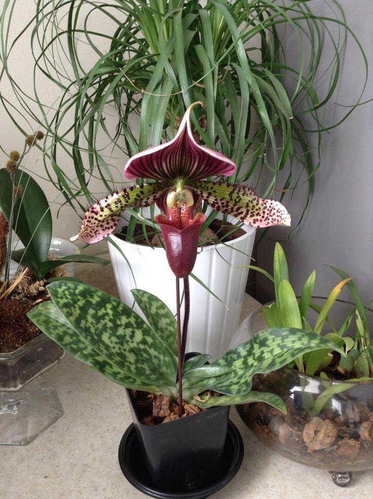"""paphiopedilum """"hsinying alien"""" orchid"""