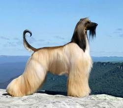 Retailer of Afghan Hound Dog, Tibetan Mastiff Dog, Black Siberian Husky, Brown Siberian Husky and Doberman Dog offered by Raviraj Kennels, Pune, Maharashtra