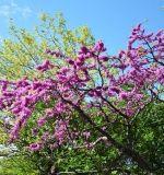 Parkok, kertek élő ékszere: virágzik a júdásfa. Tavasszal magról szaporítható! | Életszépítők