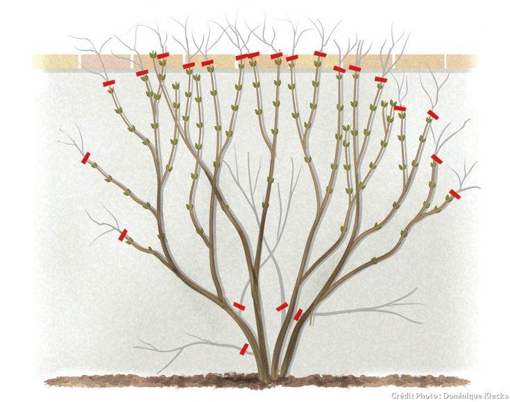 Plus de 1000 id es propos de quand tailler les plantes en pots du balcon sur pinterest coup - Quand doit on tailler les coniferes ...