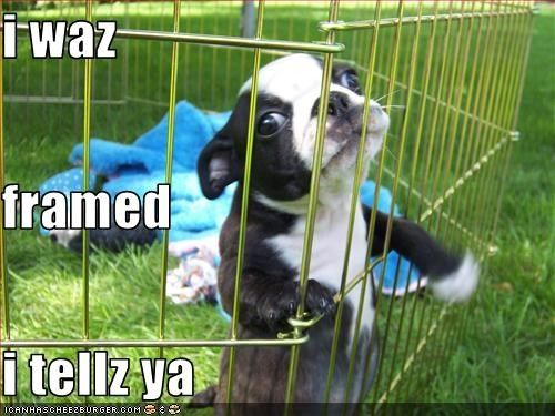 funny boston terriers | Hotdog - boston terrier - Page 29 - Loldogs n Cute Puppies - funny ...