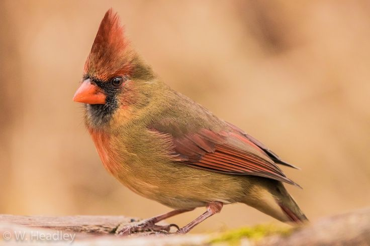 Lynde Shores... Never disappoints. Northern Cardinal- Female