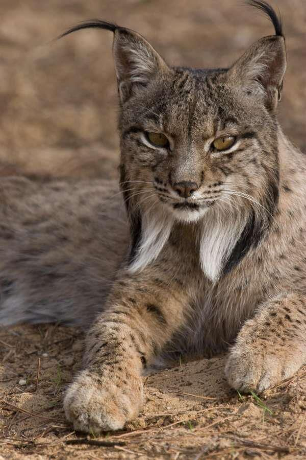 Lince Ibérico by  Euro Press  how beautiful!  i love lynx and bobcats.  i like the detail in this pic, the texture of fur, the expression.