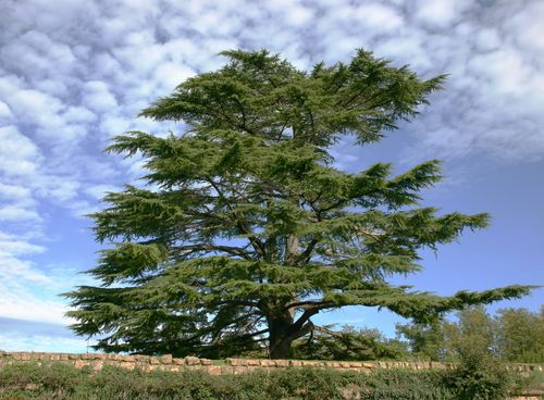Cedar of Lebanon Tree | ... Lebanon cedar gives Cedarsole Inserts their powerful antibacterial and