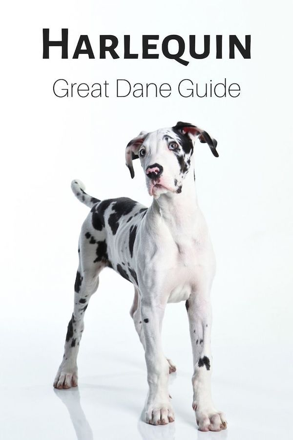 A Guide To Recognizing A Harlequin Great Dane As Well As The Full